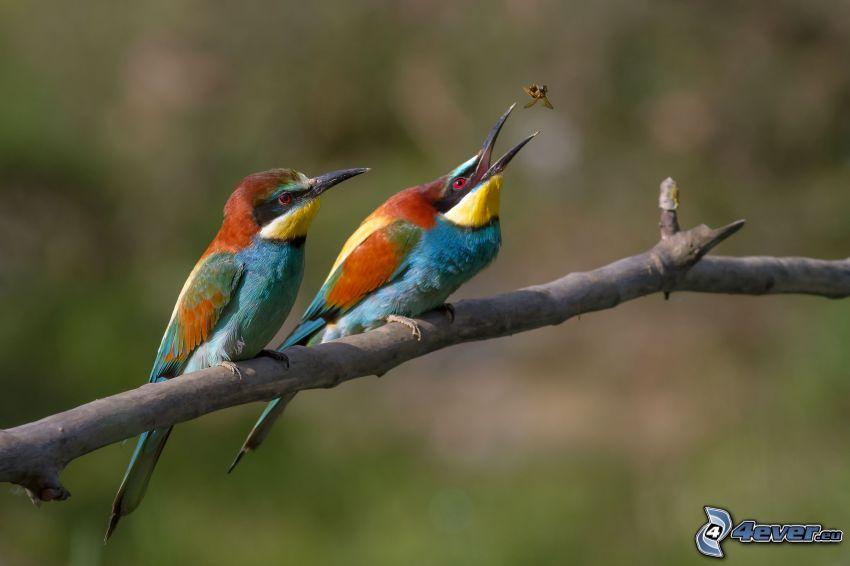 Biätare, färgglada fåglar på gren, fluga