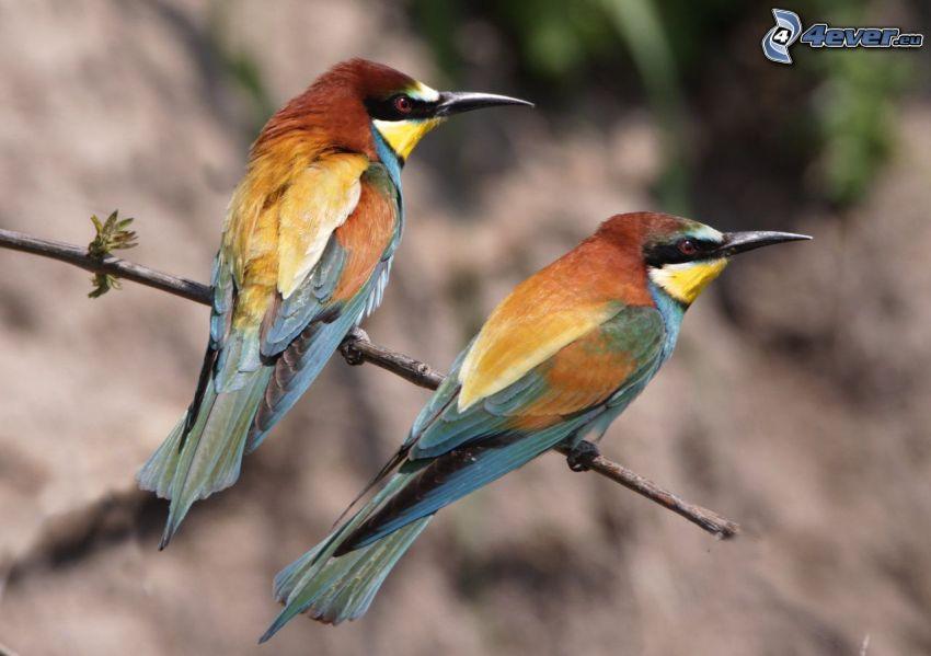 Biätare, färgglada fåglar på gren