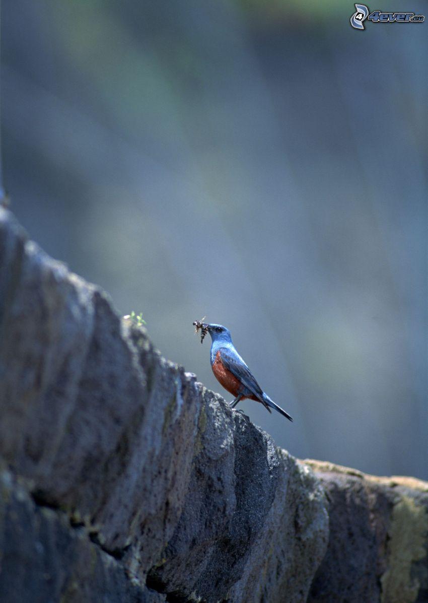 blå fågel, föda, klippa