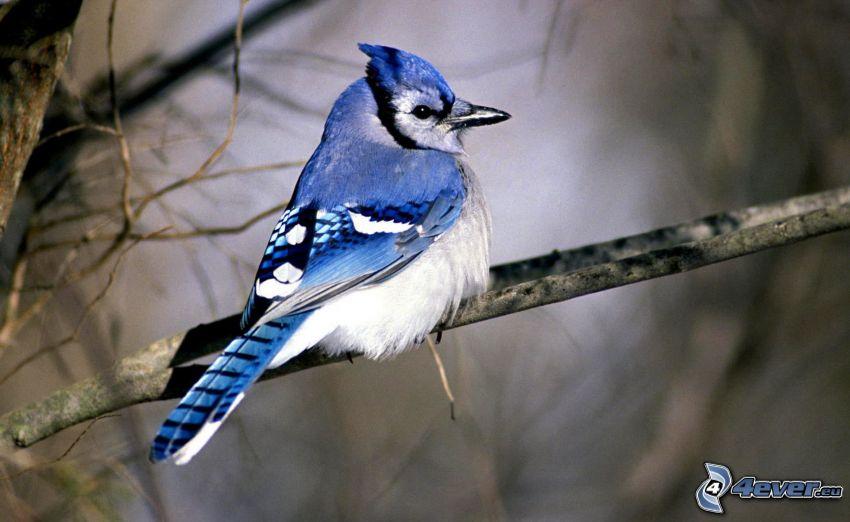 blå fågel, gren