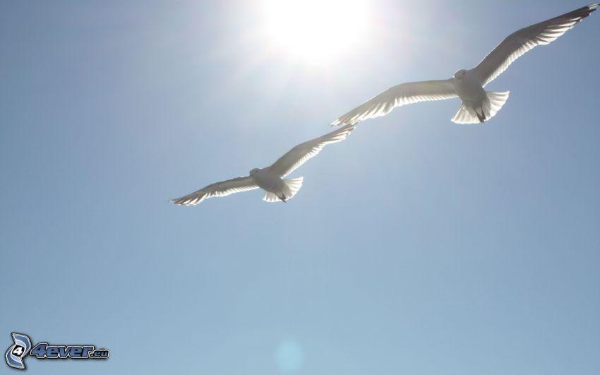 duvor, sol, vita fåglar