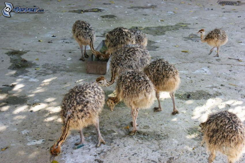 emu, ungar