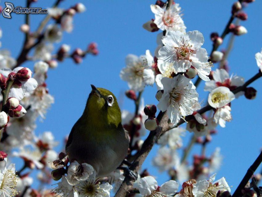 fågel, blommande kvist