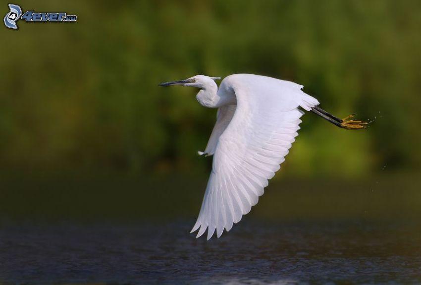 fågel, flyg, vatten