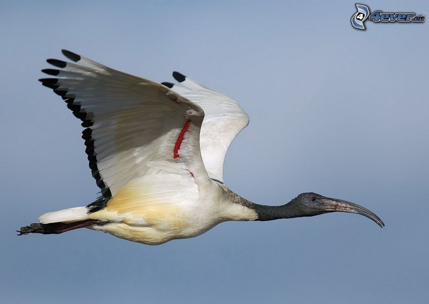 fågel, flyg