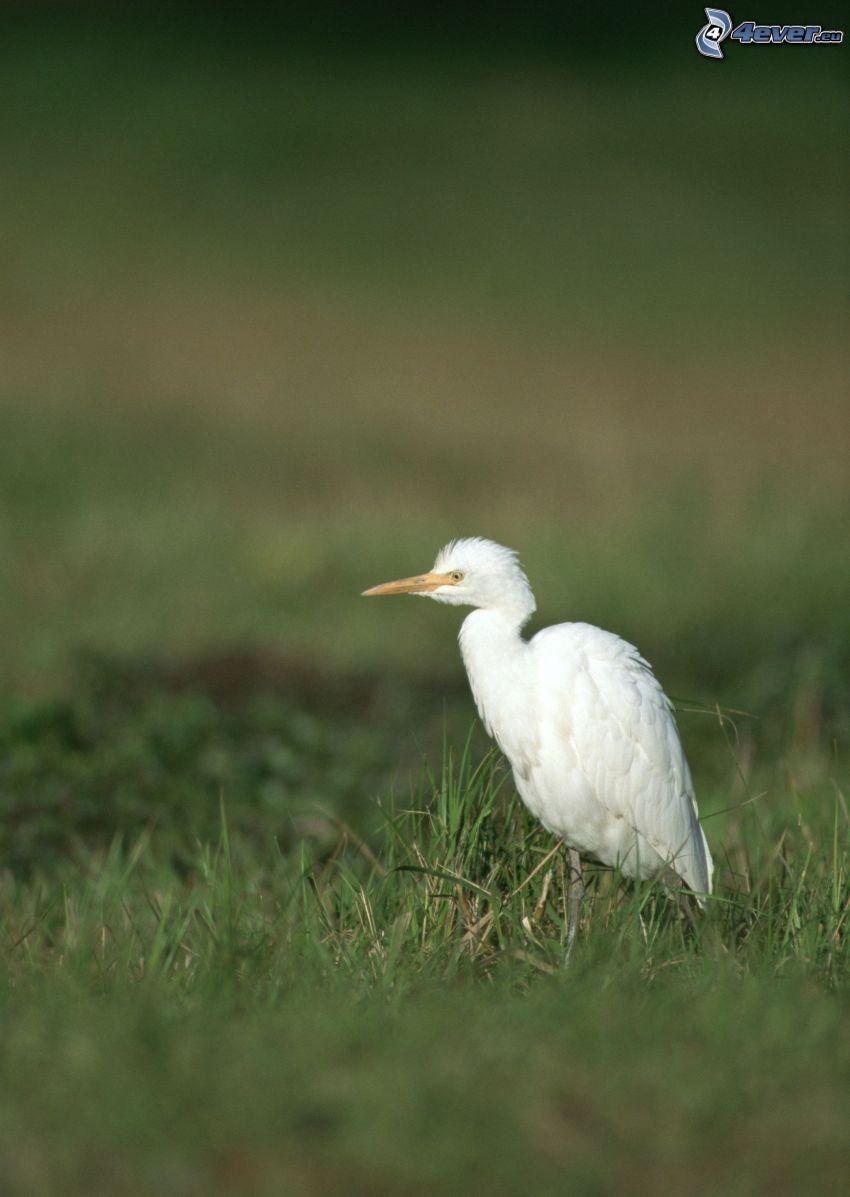 fågel, gräs
