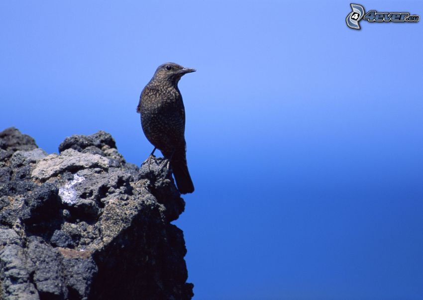 fågel, klippa, blå himmel