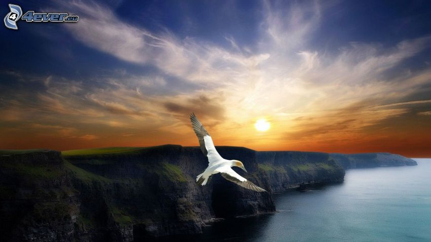 fågel, klippor vid kusten, hav, solnedgång, himmel