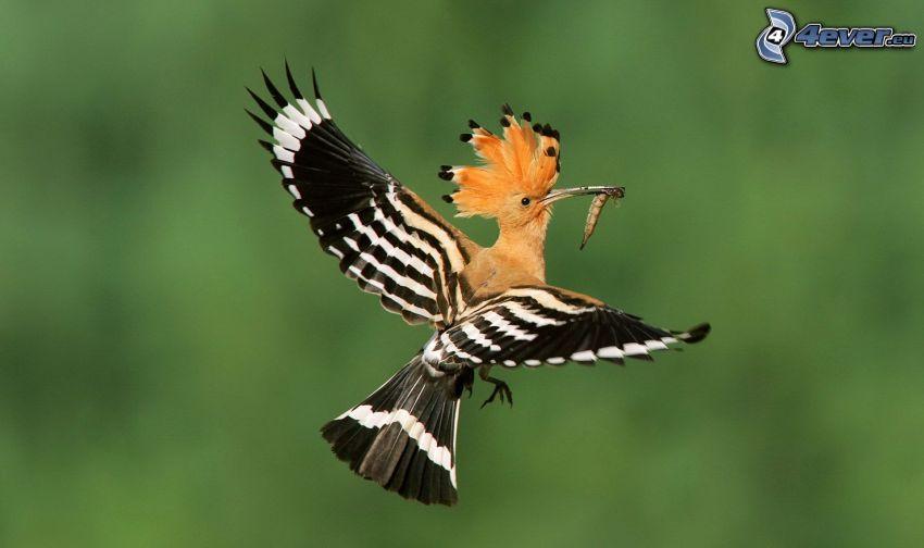 fågel, larv, flyg, vingar