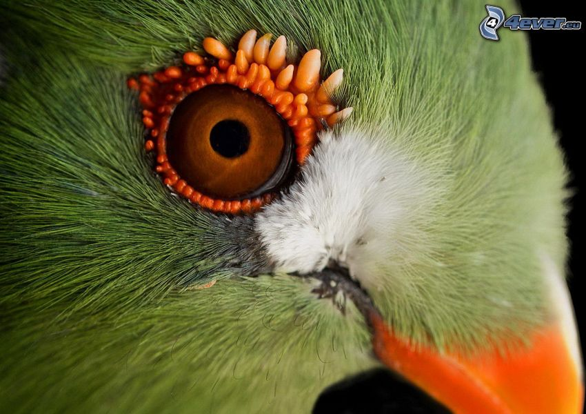 fågel, öga