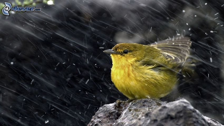 fågel, regn