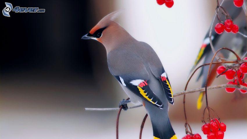 fågel, rönn