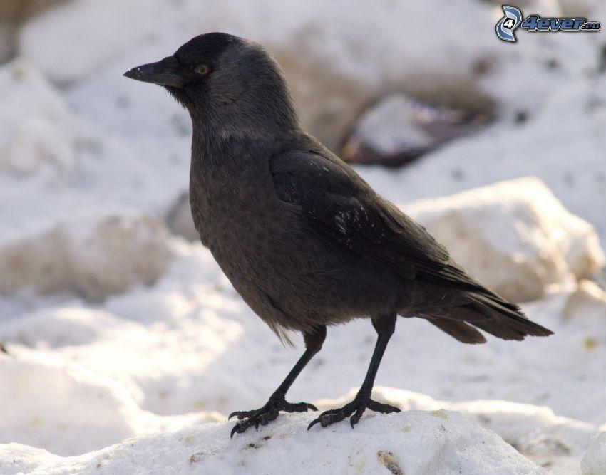 fågel, snö