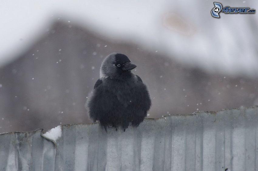 fågel, staket, snöfall