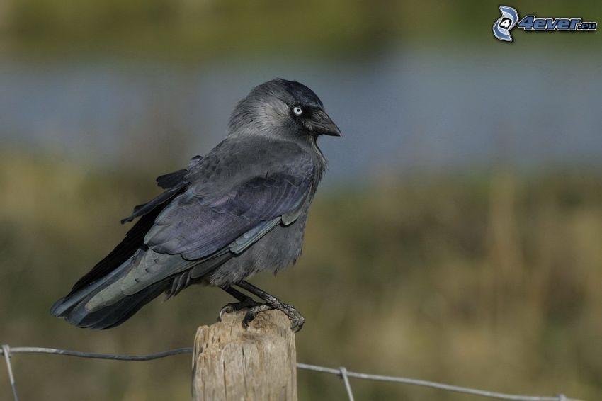 fågel, staket