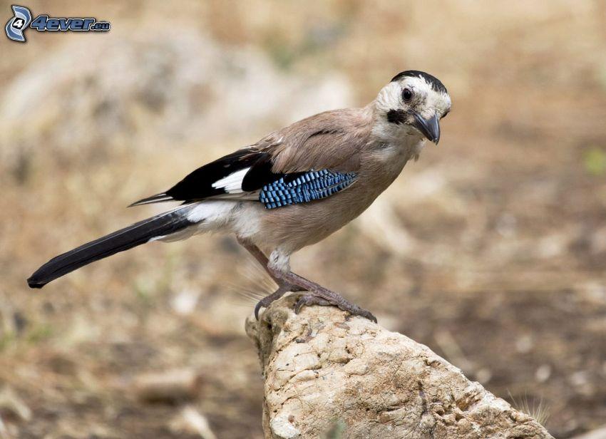 fågel, sten