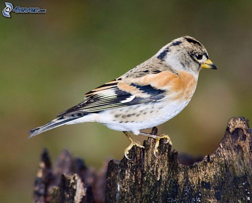 fågel, trä