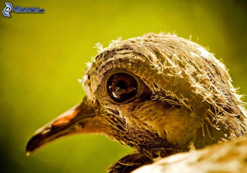 fågel, unge