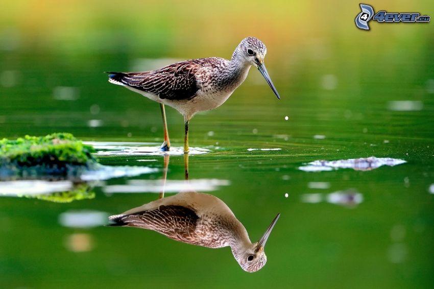 fågel, vatten, spegling