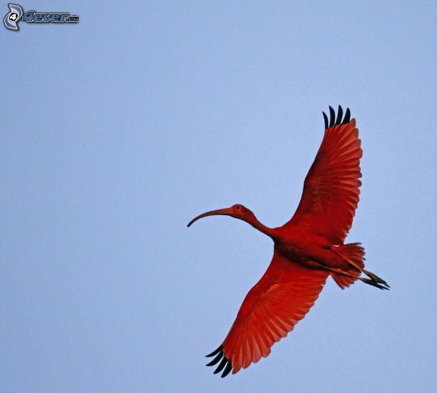 fågel, vingar, flyg