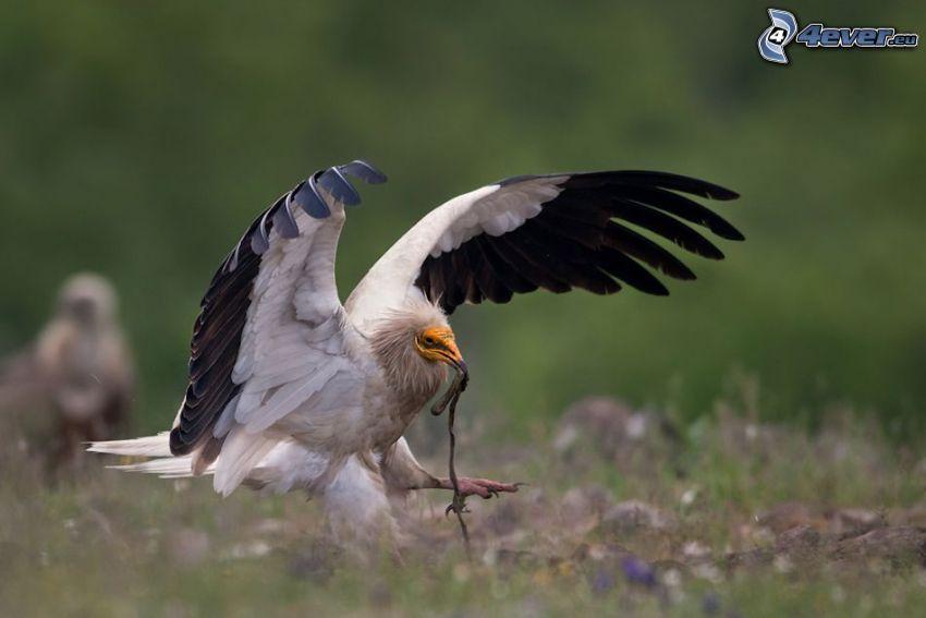 fågel, vingar, föda