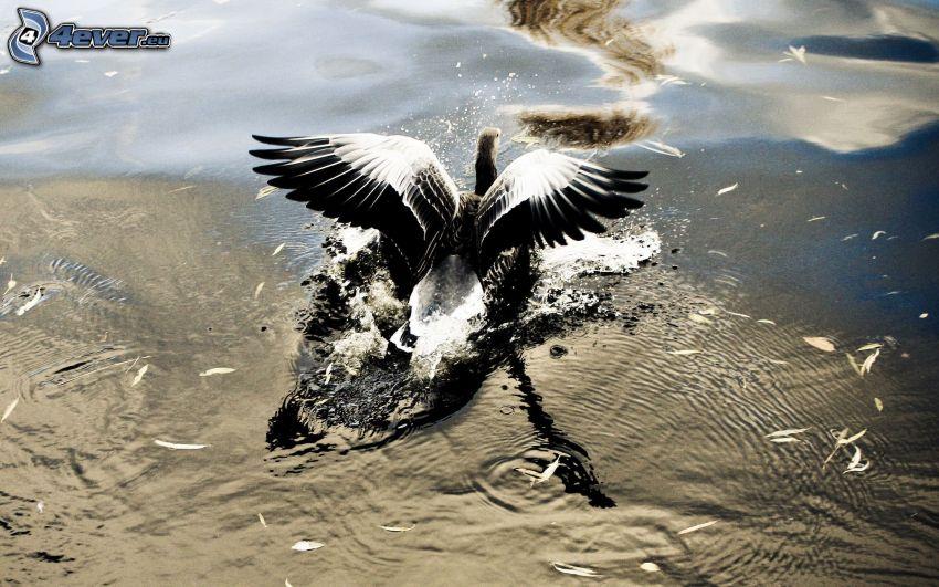 fågel, vingar, vatten