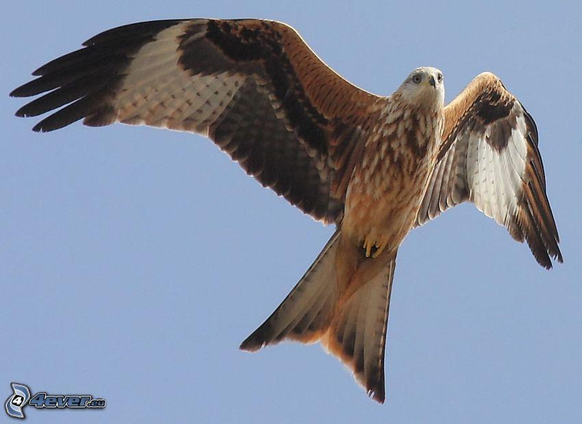 fågel, vingar