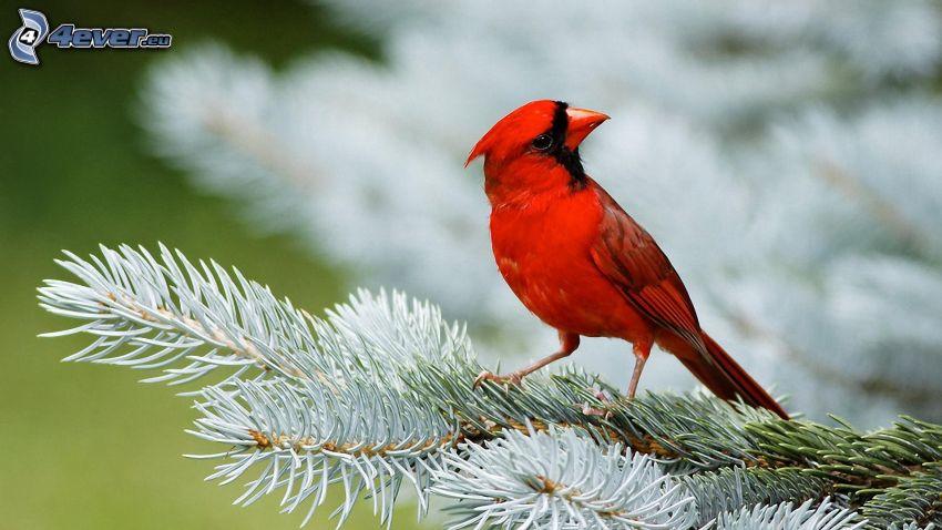 fågel på gren, barrkvist