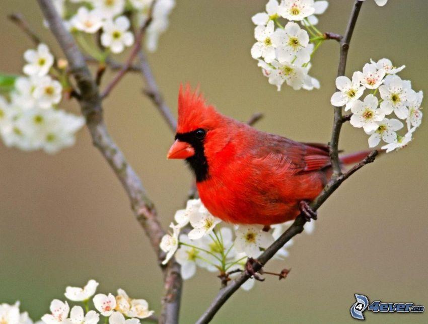 fågel på gren, blommande körsbärsträd