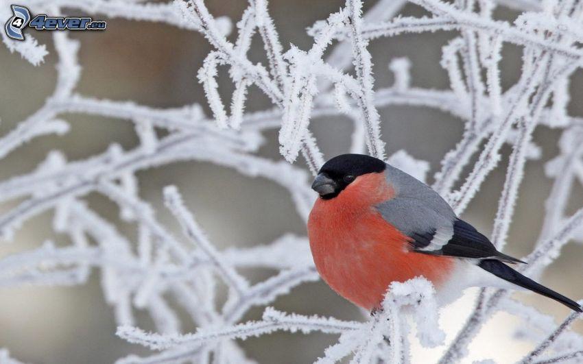 fågel på gren, frysta grenar