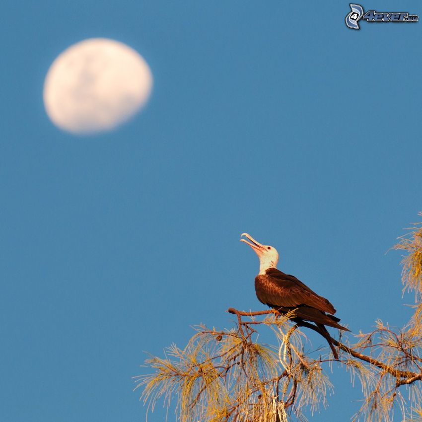 fågel på gren, måne, blå himmel