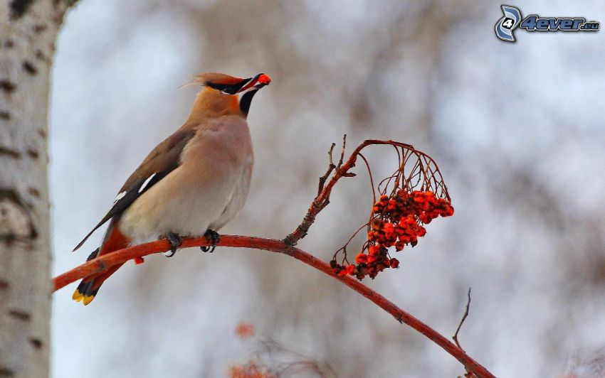 fågel på gren, rönn