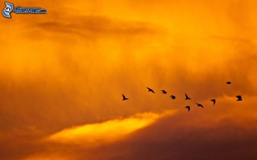fåglar, flyg