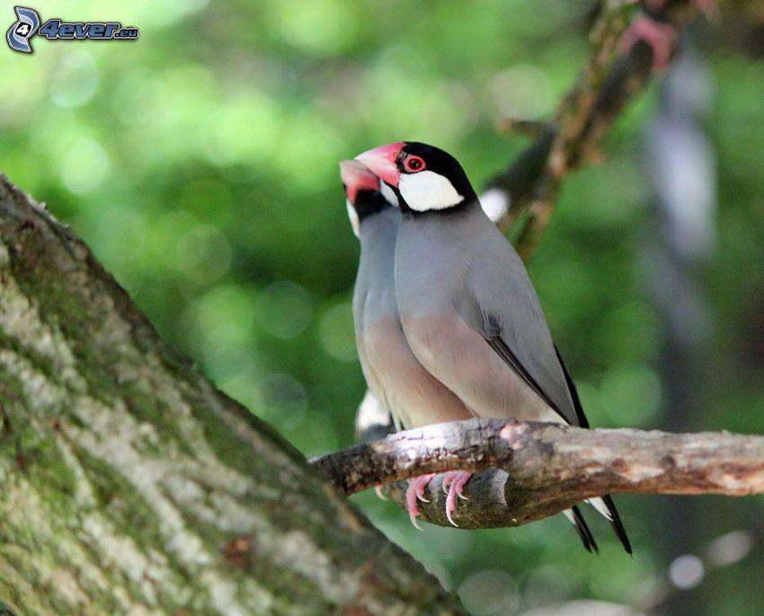 fåglar, gren