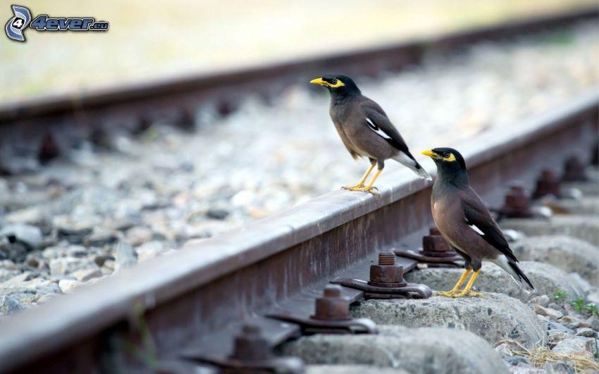 fåglar, järnväg