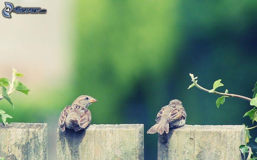 fåglar, trästaket