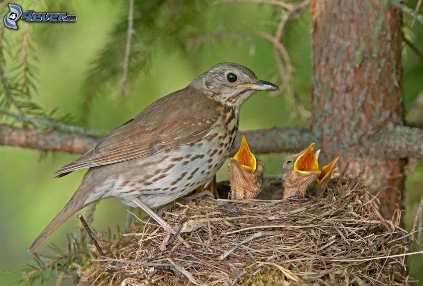 fåglar, ungar, bo