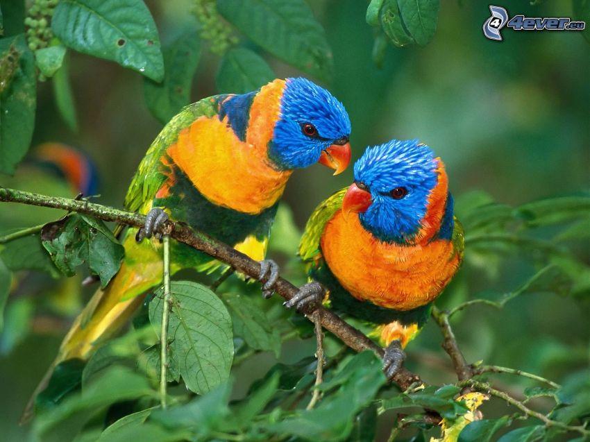 färgglada papegojor, gren