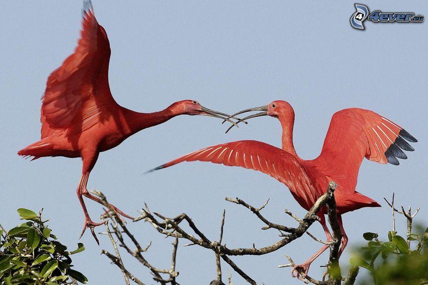 flamingos, grenar