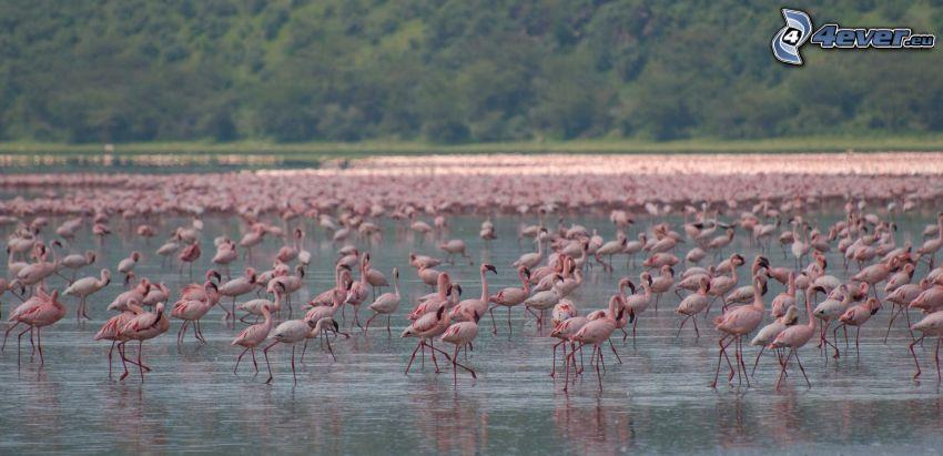 flamingos, Nakuru, sjö