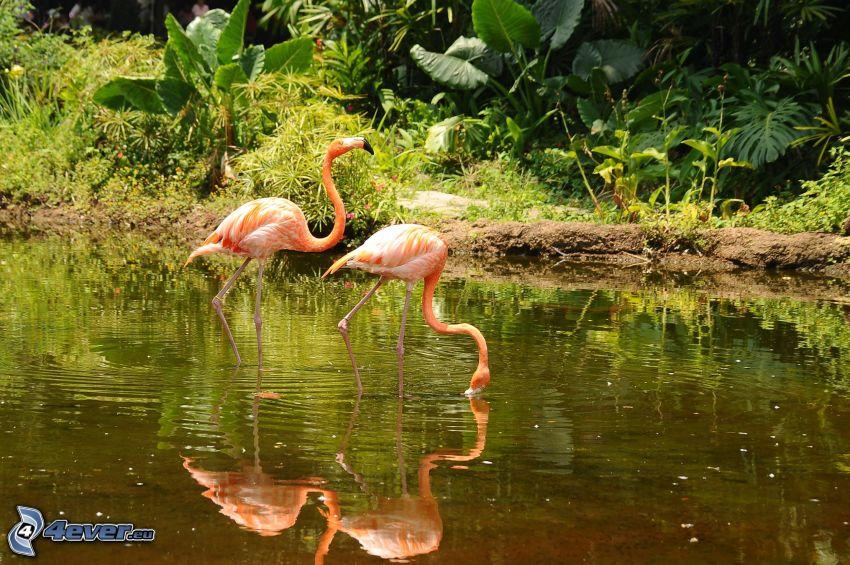 flamingos, sjö, grönska