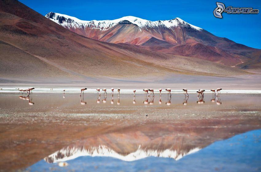 flamingos, snöklädda berg, vatten, spegling