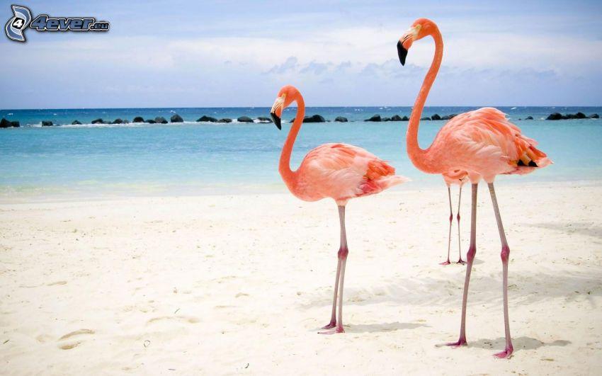 flamingos, strand, hav