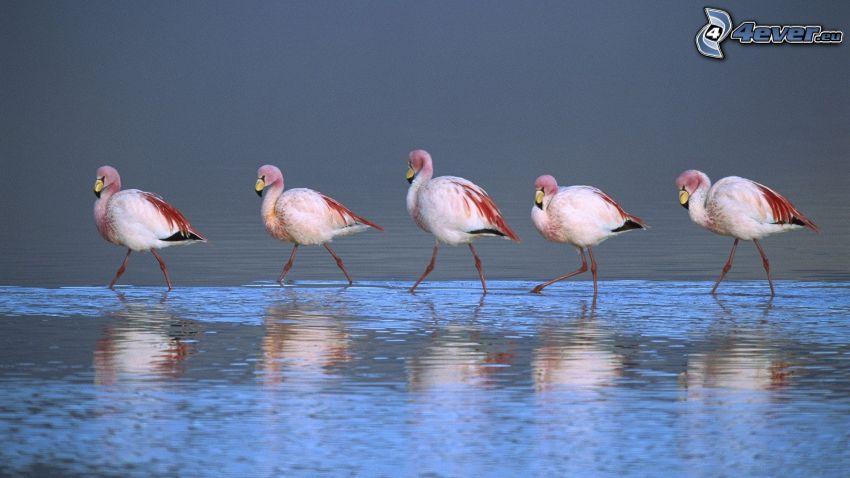 flamingos, vatten