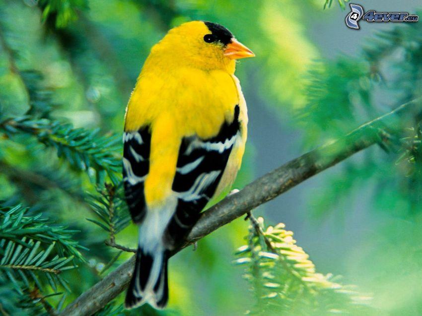 gul fågel, gren, gran