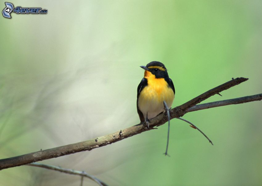 gul fågel, gren