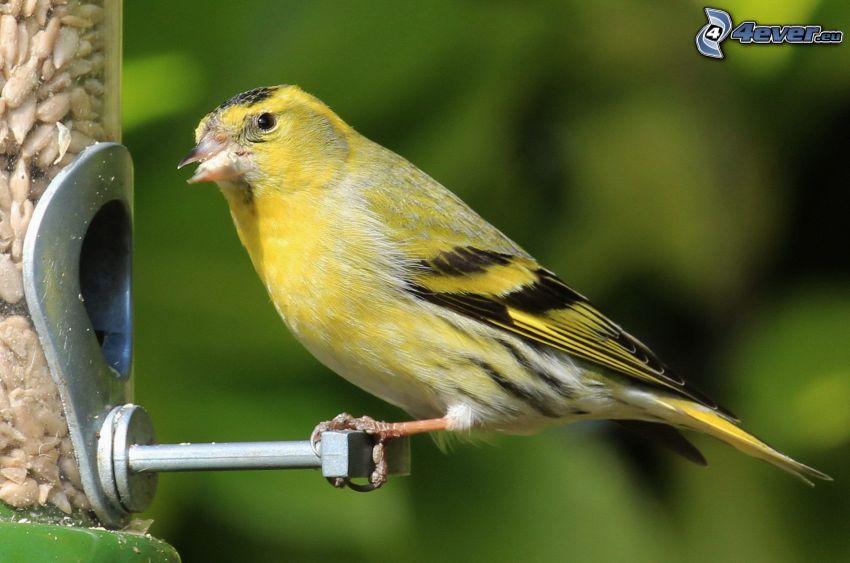 gul fågel, matning