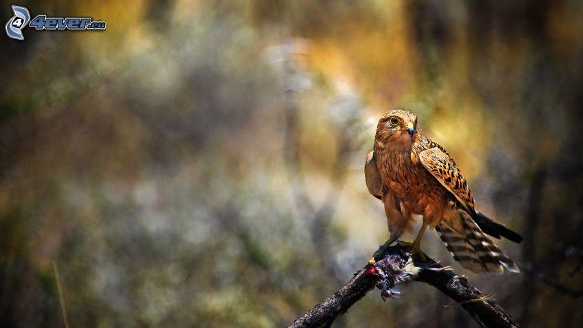 hök, fågel på gren