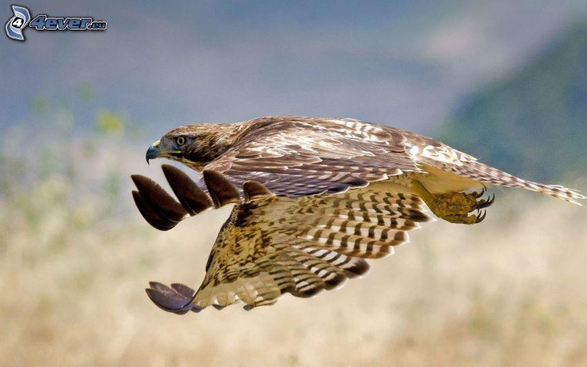 hök, flyg