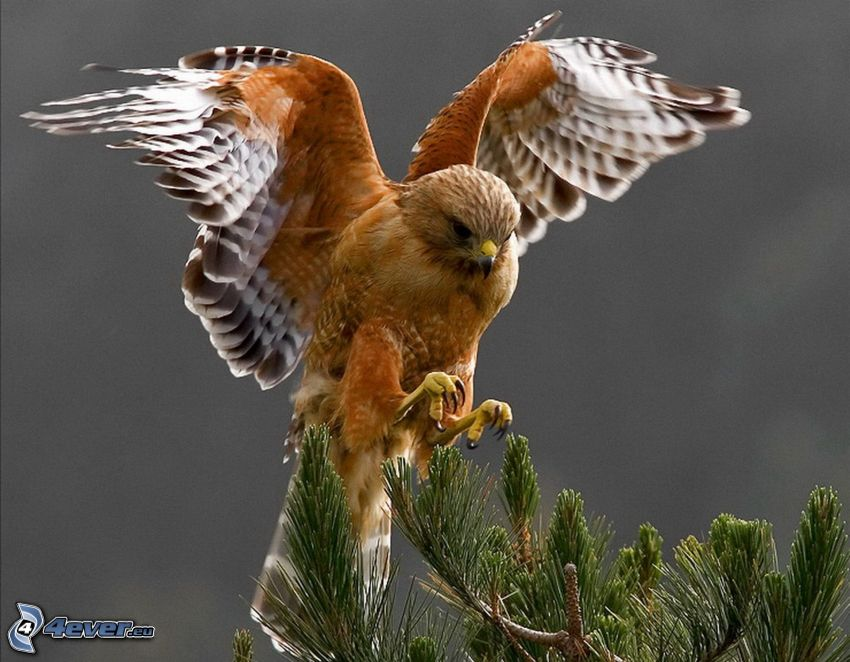hök, landning, vingar, barrkvist